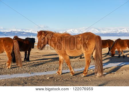 Mongolian horse with a long tail is not cropped