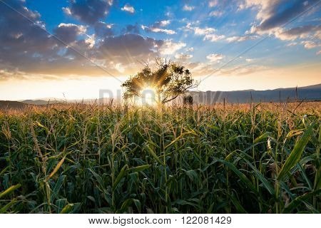 Picture of a Corn field in a sunset