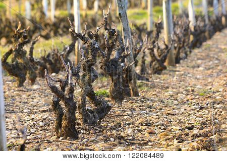 Vineyards Of Beaujolais During Springtime