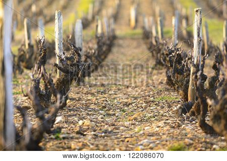 Vineyards of Beaujolais during springtime at dawn