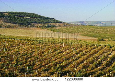 Big grapes growing on a hillside on a sunny day. ** Note: Visible grain at 100%, best at smaller sizes