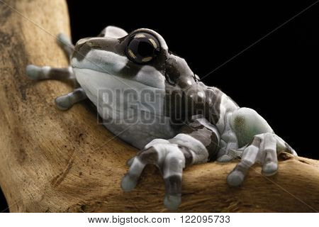 Amazon milk frog macro of a cut small amphibian in the tropical rain forest