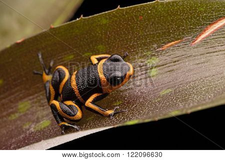 dart frog Ranitomeya imitator, a poisonous animal from the Amazon rain forest in Peru and Ecuador, an amphibian with toxic poison