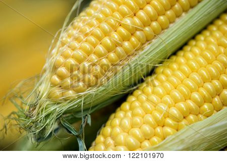 Ear of corn revealing yellow kernels. Grains of ripe corn photo of maize close-up. Selective focus.
