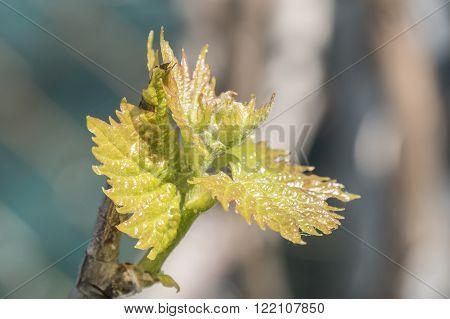 Sprout of Vitis vinifera grape vine undert the sun