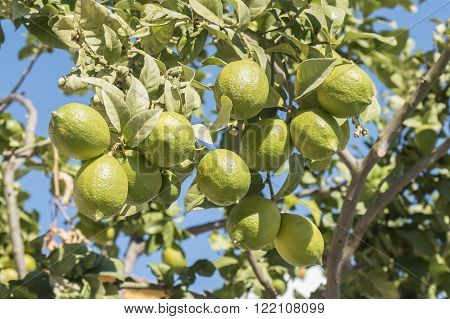 Unripe lemons on the tree, in a sunny day