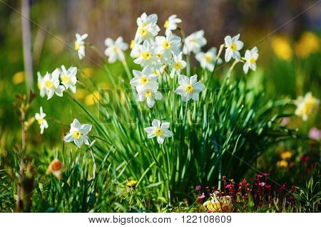 Bright blooming white daffodils . Flowering narcissus flowers. Spring daffodils. Shallow depth of field. Selective focus.