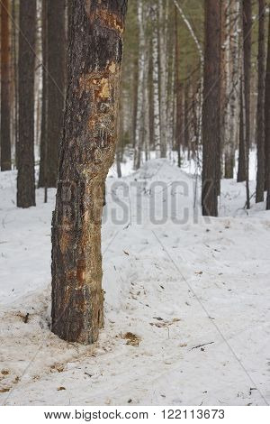 hurted trees near road. snow pine tree forest birch worn taiga Siberia