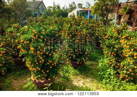 Little tangerines trees in pots in a garden. These trees are used as a holiday decoration in Asia.