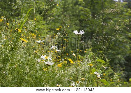 Green wildflower meadow in summertime with marguerites