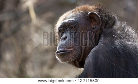 close up portrait of a chimpanzee looking over his shoulder