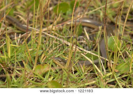 Glossy Crayfish Snake