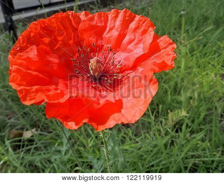Red head of the poppy flower (Papaver) ** Note: Shallow depth of field