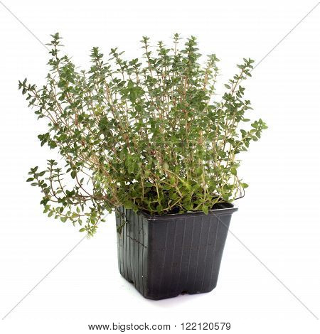 Lemon thyme in pot in front of white background