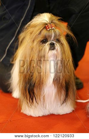 Young Shih Tzu Dog With Adorable Hairpin