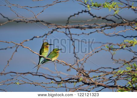 The blue-tailed bee-eater is a near passerine bird in the bee-eater family Meropidae. It breeds in southeastern Asia. It is strongly migratory, seen seasonally in much of peninsular India.