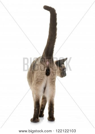 young siamese cat in front of white background
