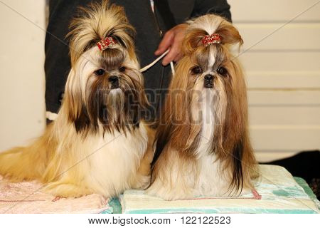 Young Shih Tzu Dogs With Adorable Hairpin