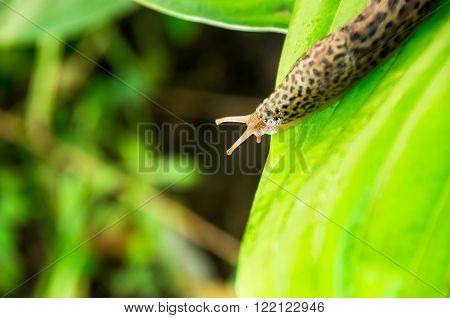 Leopard slug on a green leaf Hosta Sum