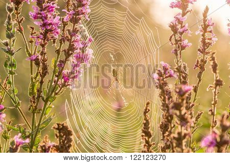 Spider sitting on a cobweb in summer wildflowers