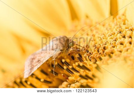 Butterfly drinking nectar from a sunflower yellow juicy