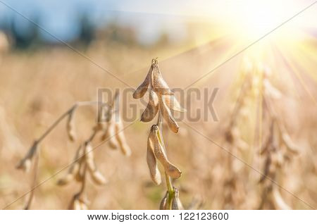 Harvest ready soy bean cultivated agricultural field organic farming soya plantation
