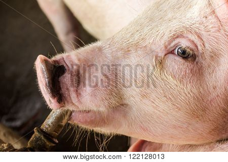 Close up pig absorb water from faucet