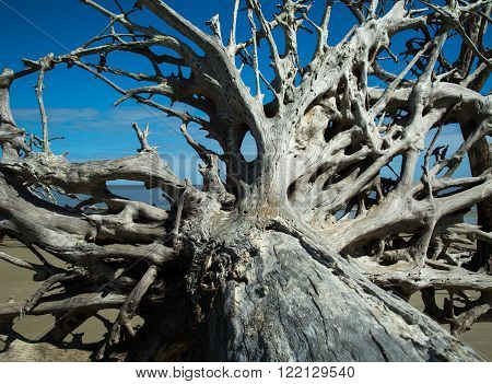 A close-up picture of a driftwood tree and it's many roots.