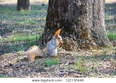 squirrel with beautiful, long red hair in the ears sits on the ground near the tree and holding the legs and eating a nut