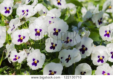 White tricolor pansy, flower bed bloom in the garden.