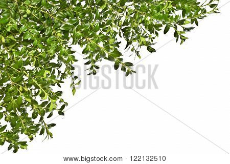 Background with the sprigs of boxwood on a white background. Spring. Easter.
