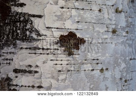 Birch bark and moss texture. Birch bark background. Birch bark texture. Tree bark background. Bark background. Bark texture. Tree bark texture