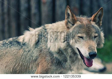 Smiling wolf (retro style, with focus on the eyes)