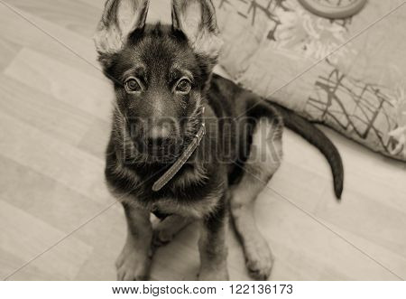 Cute German shepherd puppy with long ears (in sepia, retro style, with focus on the eyes and nose)