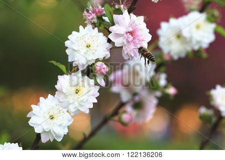 Dwarf Flowering Cherry flowers and bee,beautiful white with pink flowers blooming in the garden in spring,closeup,Dwarf Flowering Almond