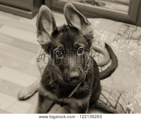 Funny German shepherd puppy with long ears (in sepia, retro style, with focus on the eyes)