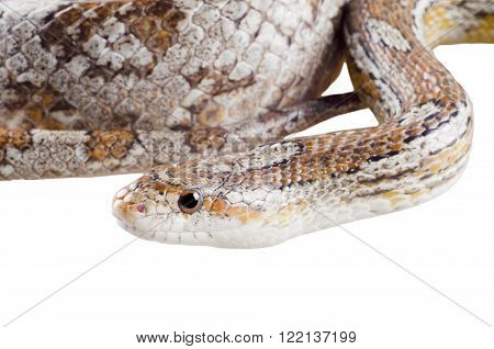 Closeup of a coiled corn snake (isolated on white)