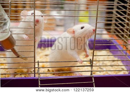 Two cute white rats standing on their hind legs
