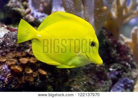 Photo of fish yellow zebrasoma in aquarium