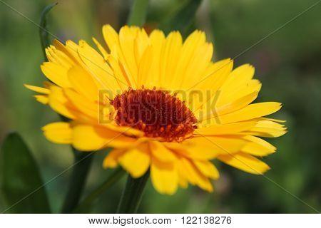 yellow calendula flower in the garden. selective focus