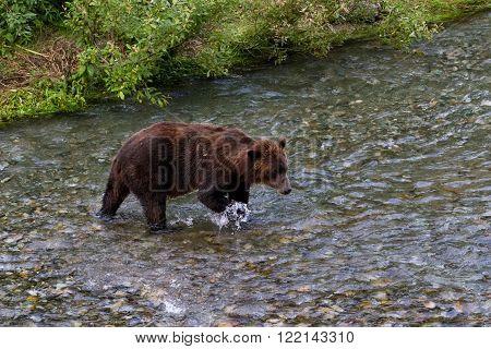 Grizzly bear Catching Salmon at hyder Alaska