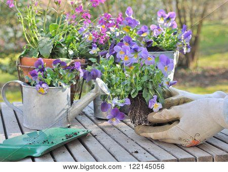 planting violas in decorative pots on a garden table