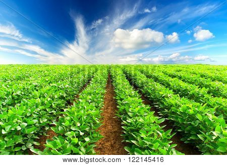 Rows on the field. Natural agricultural ladscape in the summer time