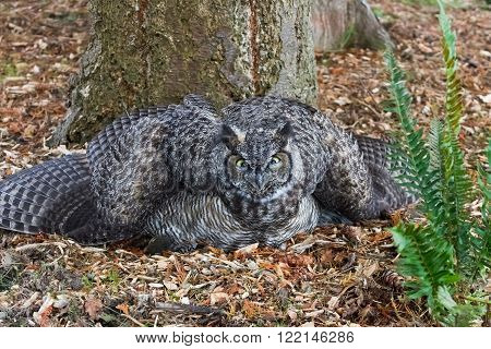 a Great Horned Owl close up shot