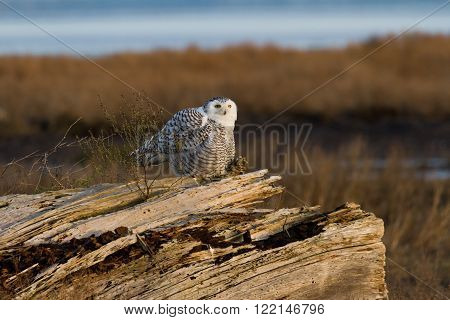 Snowy Owl at  Boundary Bay,  Delta, BC Canada