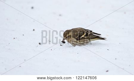 Small Pine Siskin shows finds and eats a sunflower seed showing its streaky patterns and touches of yellow as it searches for seeds in spring corn snow
