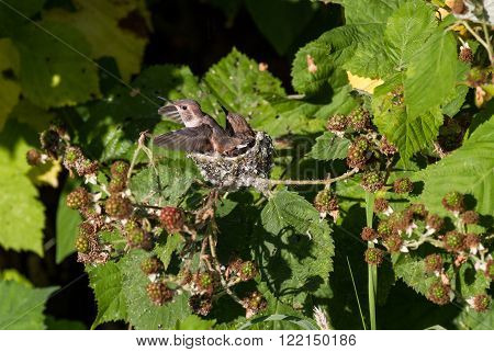Young Rufous Hummingbird and nest in spring