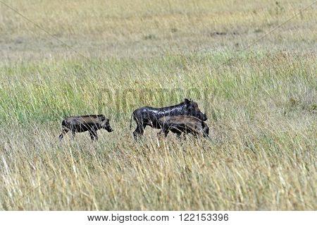 Pumbaa In The African Savannah