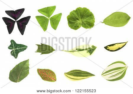 Botany. Houseplant leaves isolated on a white background oxalis tropaeoloides oxalis triangularis (regnellii) pelargonium (geranium) dipladenia ivy (Hedera) schlumbergera ficus benjamina aucuba cissus rhombifolia fittonia tradescantia zebrina pendula.