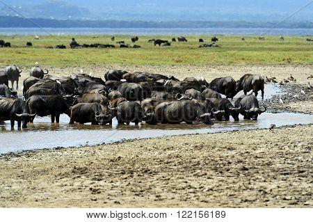 Buffalo In The Savannah